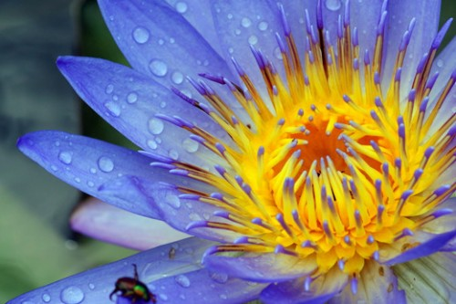 3_Water lily