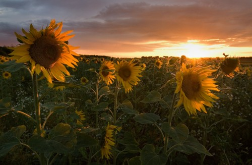 56_Sunflowers