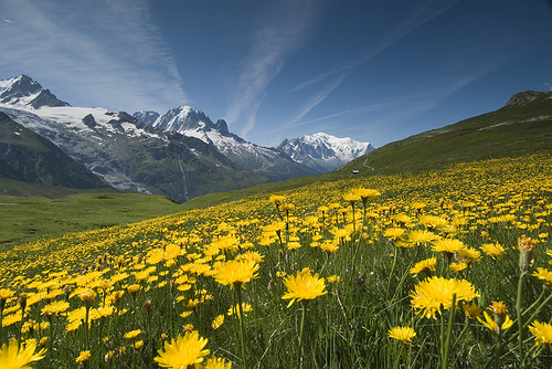 26_Meadow of Yellow Flowers and Mountains