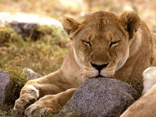 2_African Lion
