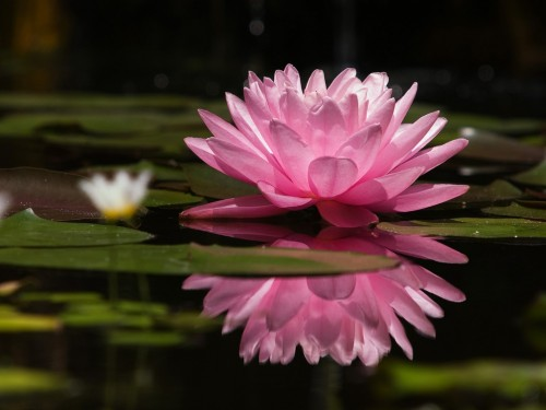 35_Water Lily Pink