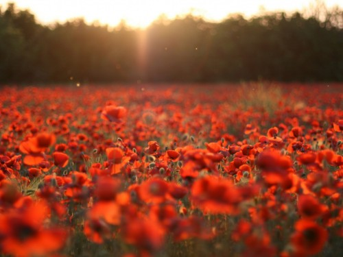 7_Poppy Field Sunset